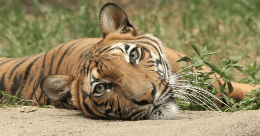 Jungle Stripes Betsoft jaunākais izlaidums